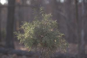 Cedar tree sprout.