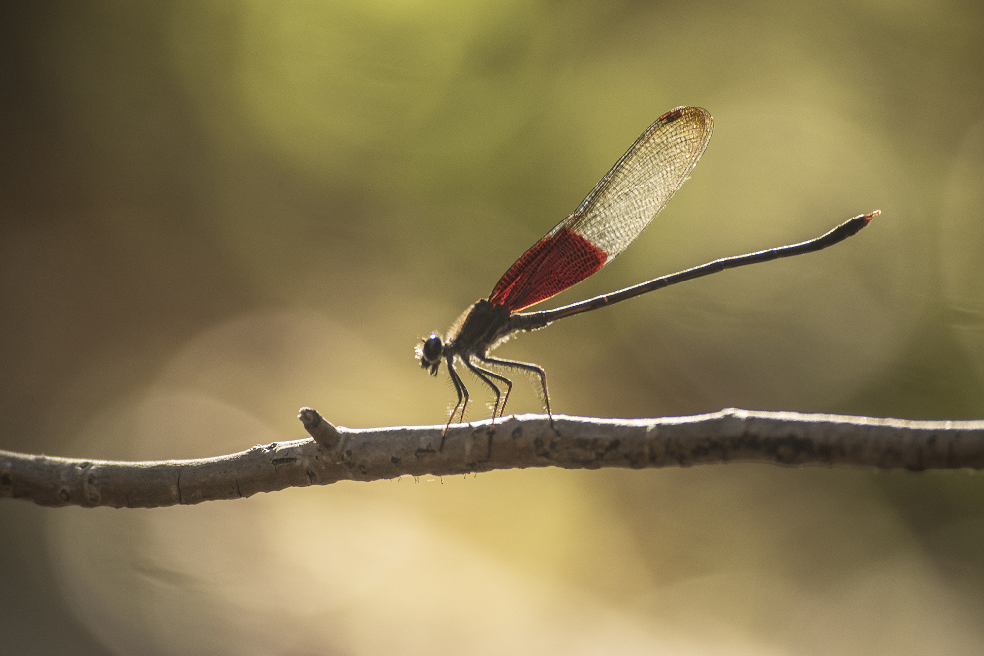 red winged dragonfly perched on a twig