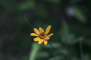 Golden wild field daisy