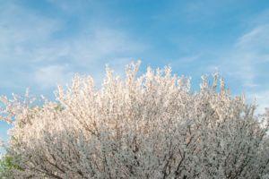 White budding dogwood tree.