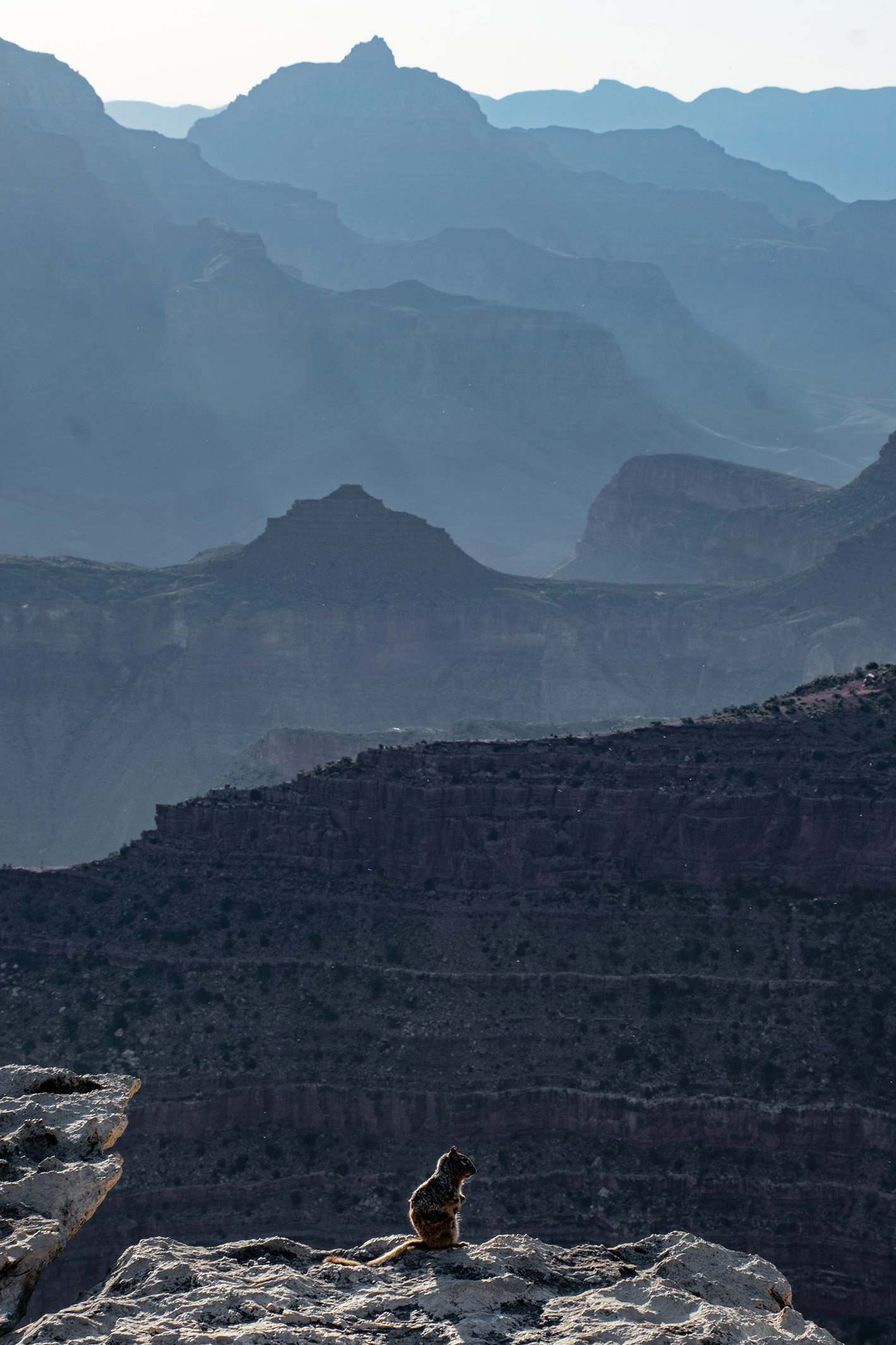 Desert squirl stands on the edge of the Grand Canyon